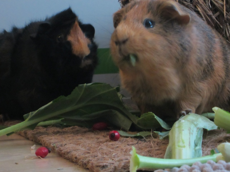 "Food for ""my"" guinea pigs Jan_1516"
