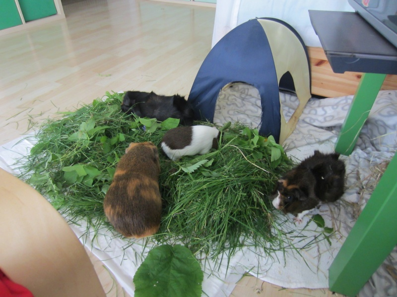"Food for ""my"" guinea pigs Mai_1510"