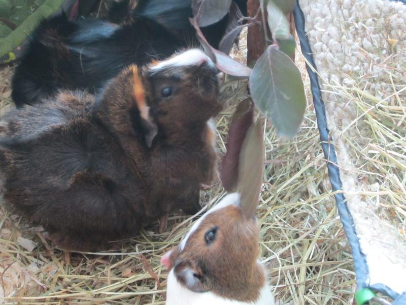 "Food for ""my"" guinea pigs Mai_1511"
