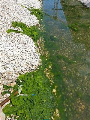 Prolifération des algues  Algues11