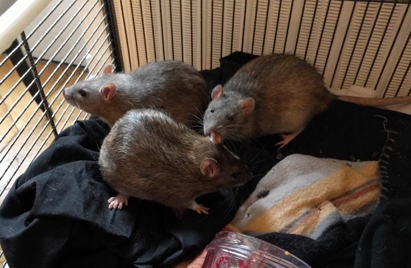 Recherche deux petits rats Annonc18