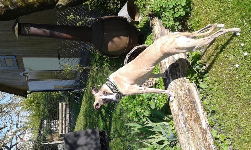 Sevilla tendre et douce galga Scooby France Adoptée - Page 3 20160412