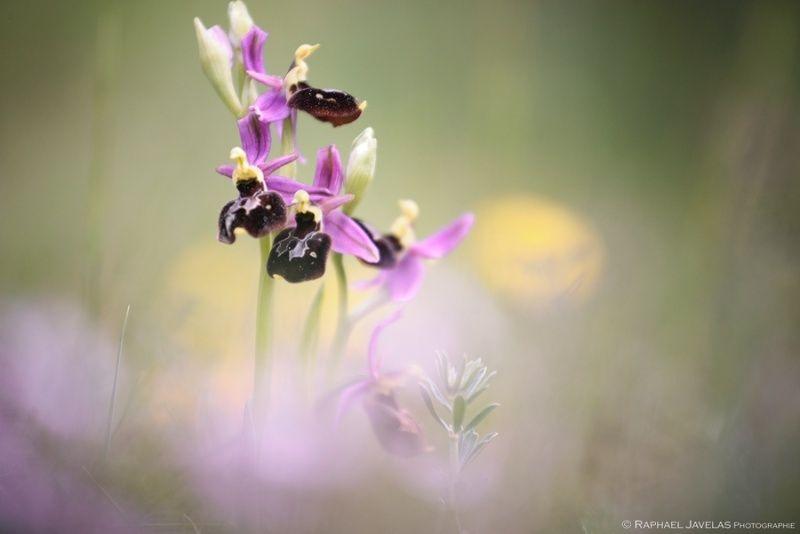 Ophrys hybride Ophrys12