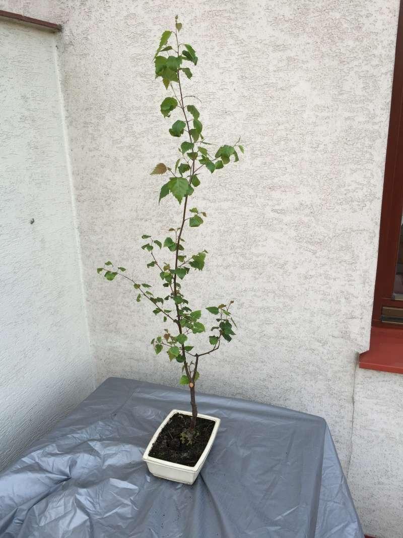 Birch from seed Bayyza11
