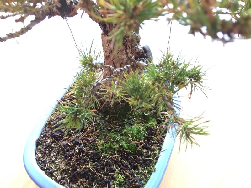 Pinus parviflora sick (Japanese white pine) Img_9714