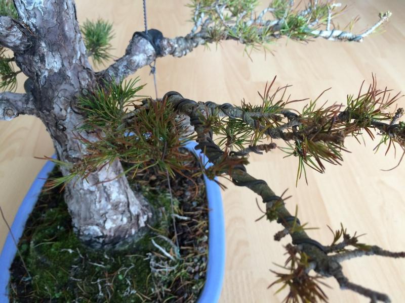 Pinus parviflora sick (Japanese white pine) Img_9715