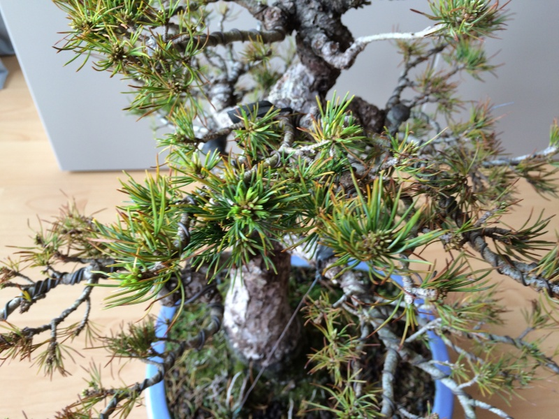 Pinus parviflora sick (Japanese white pine) Img_9716