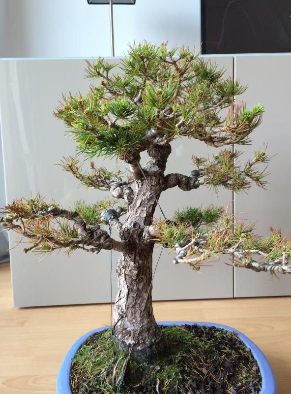 Pinus parviflora sick (Japanese white pine) Img_9717