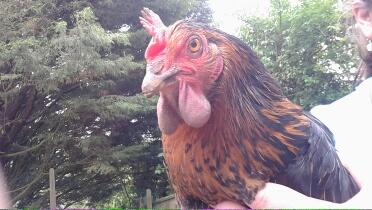 poule - Poule avec les barbillons gonflés Img_2011
