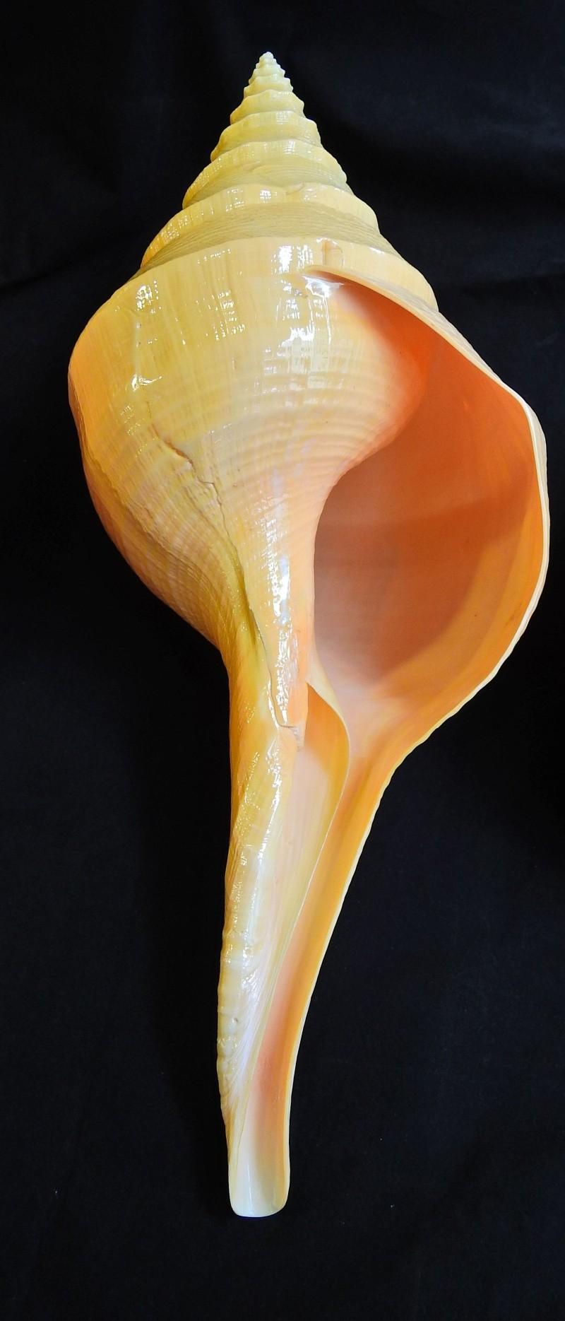 Syrinx aruanus - (Linnaeus, 1758) 203810