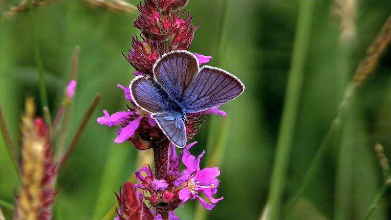 Quel est le plus beau papillon du monde ? - Page 2 Argus_10