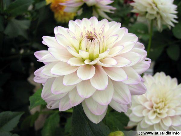Nos amies les fleurs (Symbolisme) - Page 6 Dahlia10