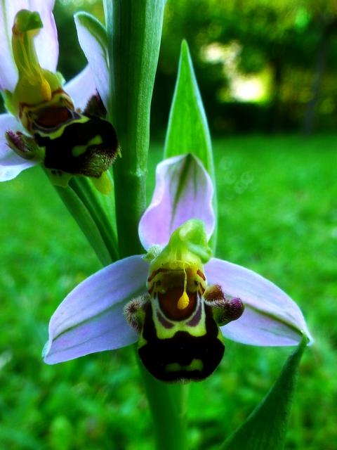 Quand les orchidées s'invitent à la maison Apis_a10