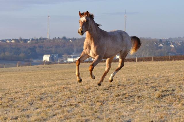 HQV : Chevaux du Club Horse_12