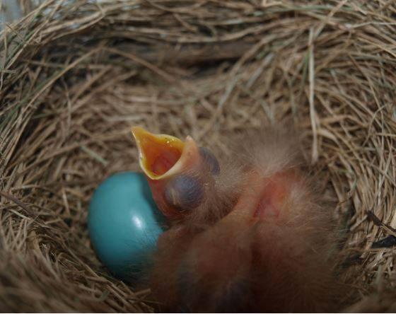 Bonjour quel est le nom de cet oiseau (Nid dans une fenêtre chez mon fils) 13321610