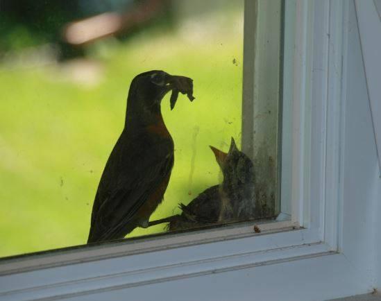 Bonjour quel est le nom de cet oiseau (Nid dans une fenêtre chez mon fils) 13321910