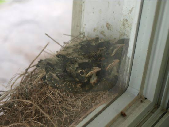 Bonjour quel est le nom de cet oiseau (Nid dans une fenêtre chez mon fils) 13335510