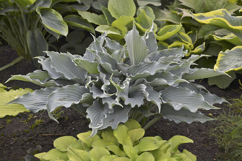 Nouveautés horticoles 2019 intéressantes selon le jardinier paresseux  7301b710