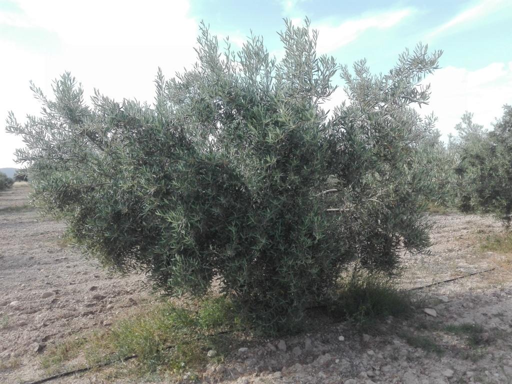 ¿En este mes de Junio qué tipo de abono N aportar? (Albacete) Img_2018