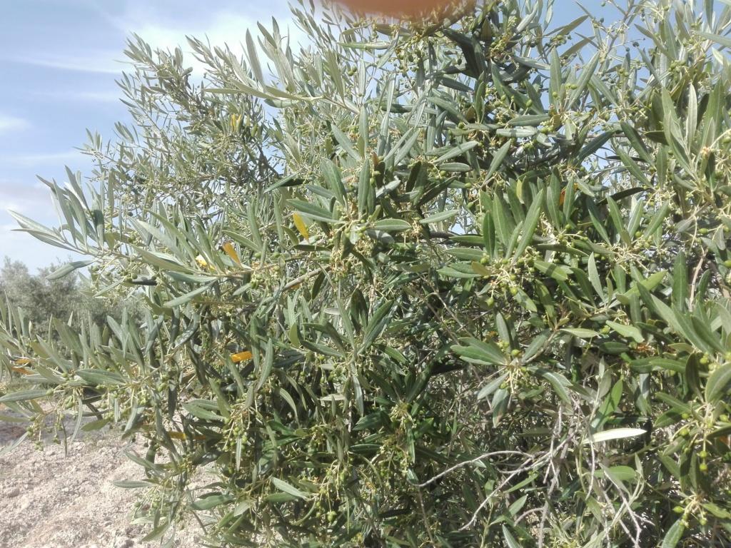 ¿En este mes de Junio qué tipo de abono N aportar? (Albacete) Img_2021