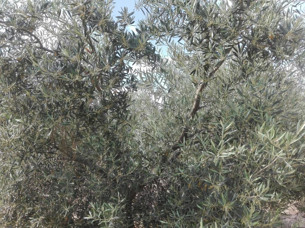 ¿En este mes de Junio qué tipo de abono N aportar? (Albacete) Img_2022