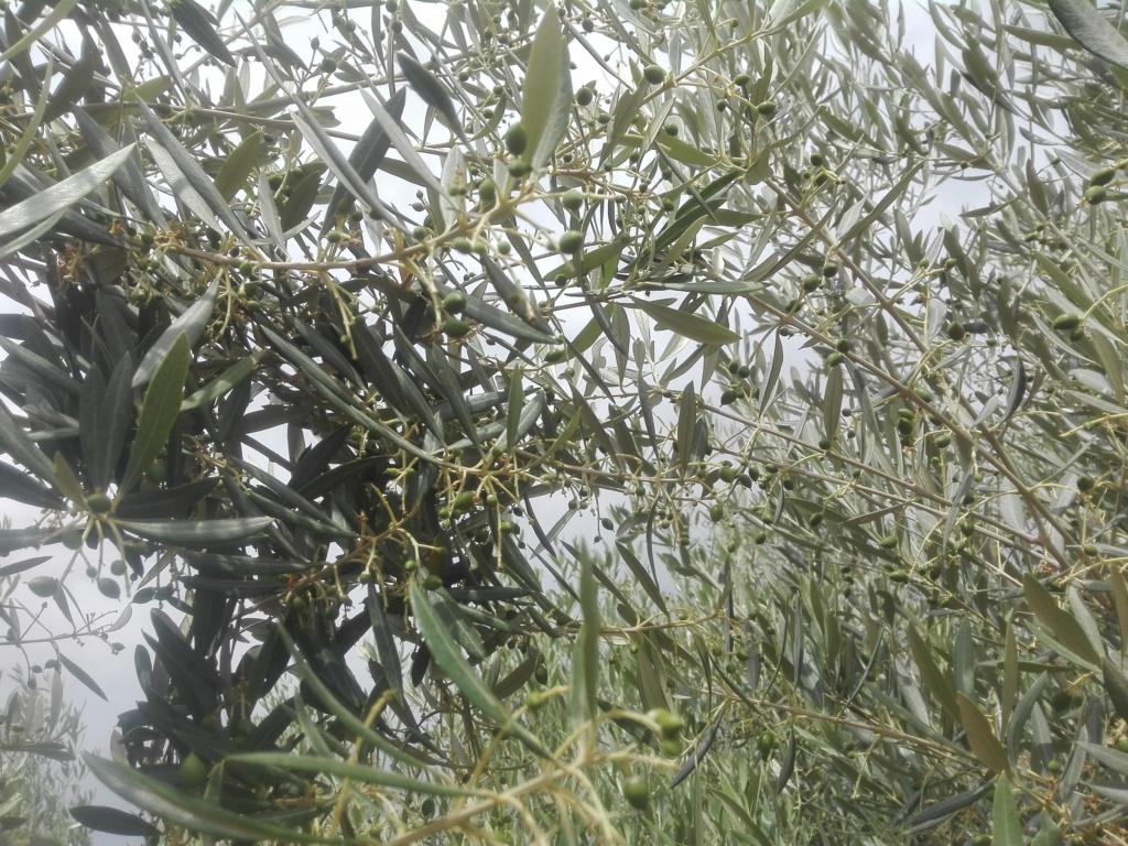 ¿En este mes de Junio qué tipo de abono N aportar? (Albacete) Img_2023