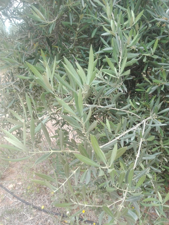 ¿En este mes de Junio qué tipo de abono N aportar? (Albacete) Img_2024