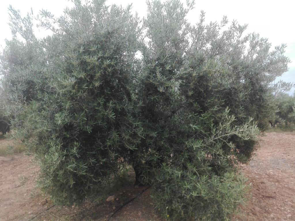 ¿En este mes de Junio qué tipo de abono N aportar? (Albacete) Img_2025