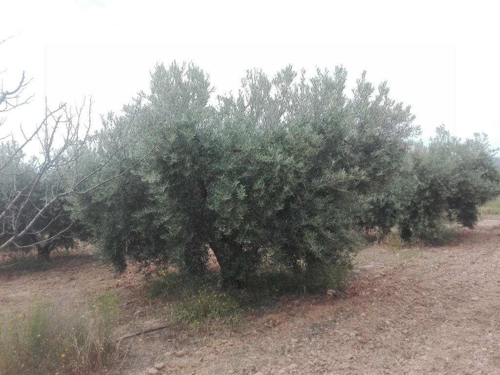 ¿En este mes de Junio qué tipo de abono N aportar? (Albacete) Img_2026