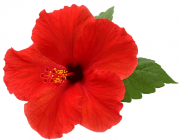 Hibiscus dans la magie Hibisc10