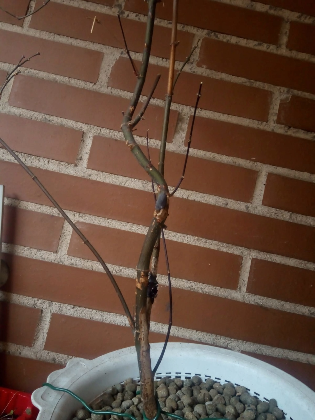 Bonsai acer dissectum no brota Whatsa15