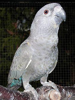 Poicephalus Rueppellii o Lorito de Rüppell 250px-14