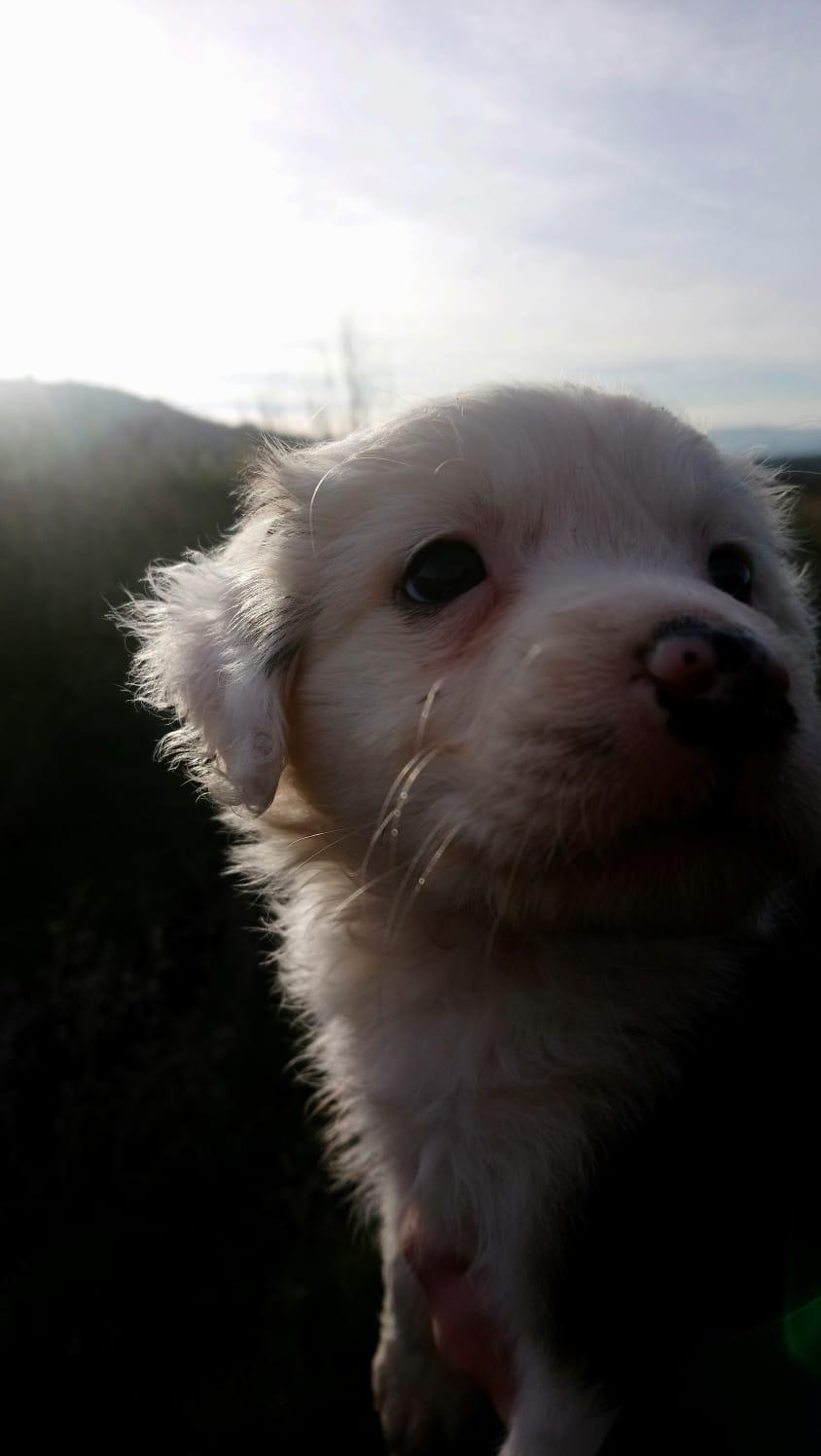 Cachorrita de Border Collie busca nueva familia Img-2112