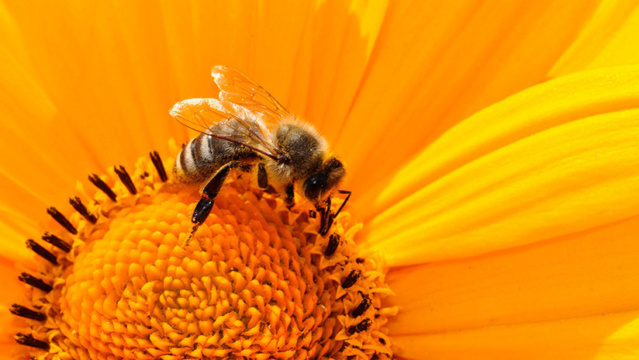 Alerta científica: ¡Las abejas se extinguirán en cuestión de años! (y nos afectará a todos) 5b364610