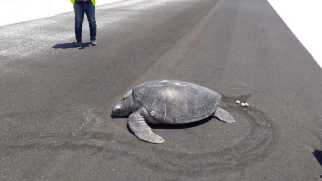 (Foto) Tortuga marina emerge del agua para desovar y encuentra la playa convertida en la pista de un aeropuerto 5cb06c10