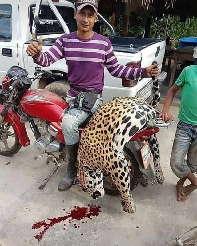 """Detenido el miserable """"agroproductor"""" que mató a jaguar tigre mariposa en Barinas 8-611"""