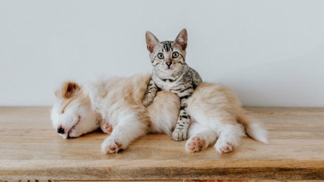 Las mascotas nos proteguen del coronavirus