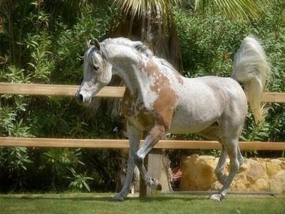 Arabe - Royal Riah de l'Oasis Sans_t43