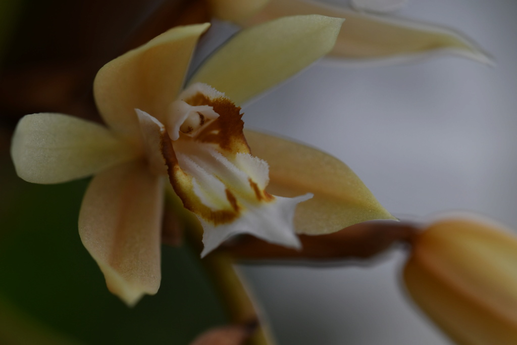 Floraison coelogyne rochussenii 044abd10