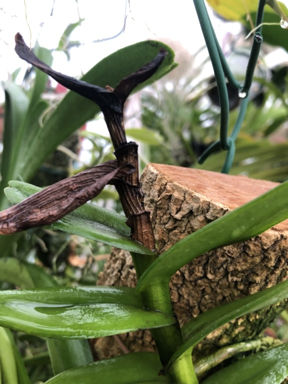 Peletantheria insectifera majus qui noircit  1591af10