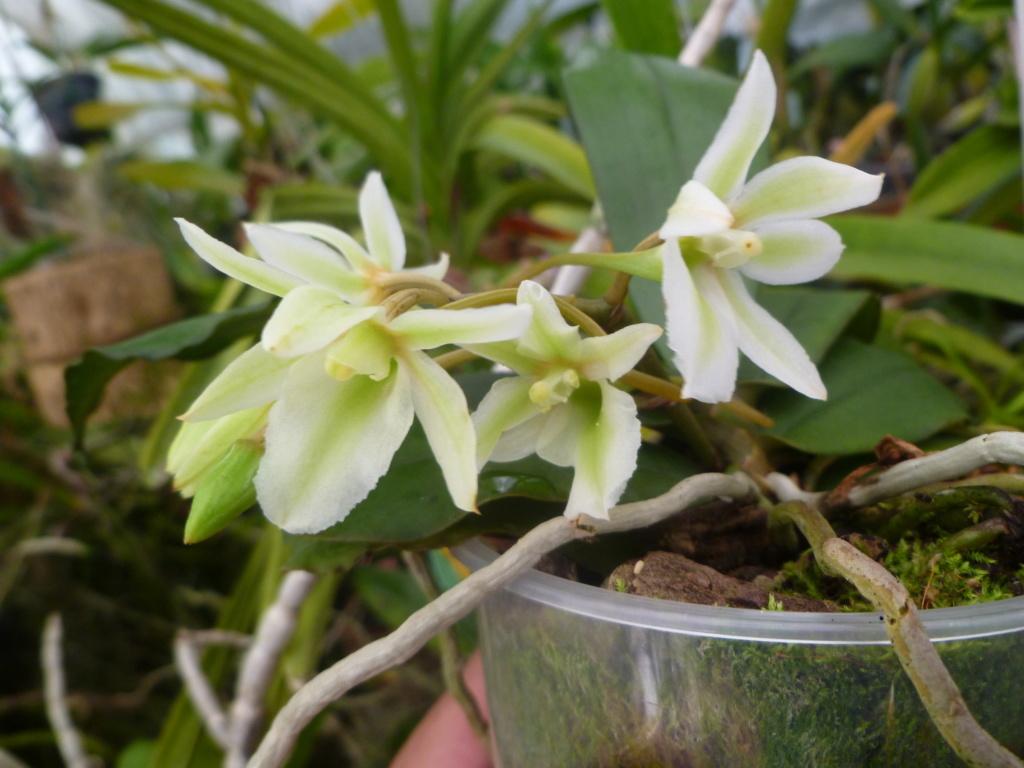 Aerangis spiculata x Eurychone rothschildiana 19213310