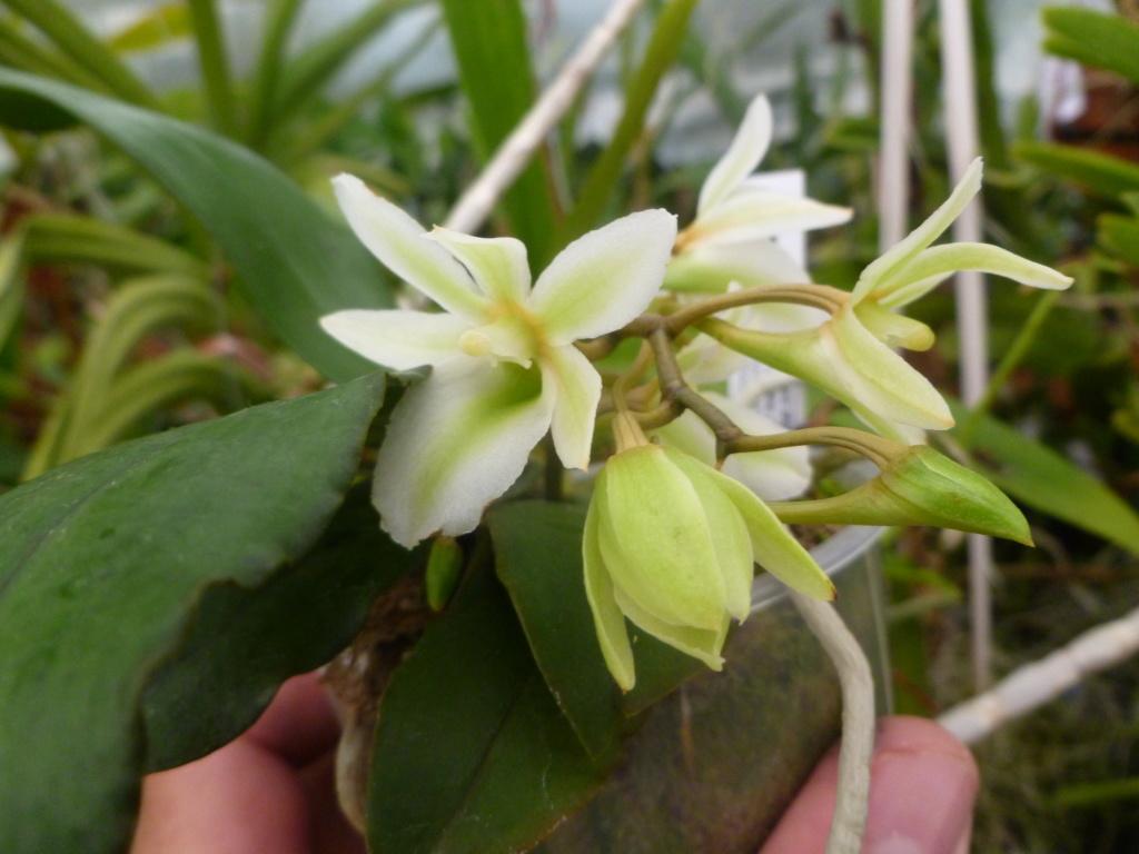 Aerangis spiculata x Eurychone rothschildiana 7e718d10
