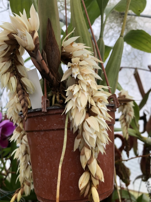 Floraison coelogyne rochussenii Bbd1a210