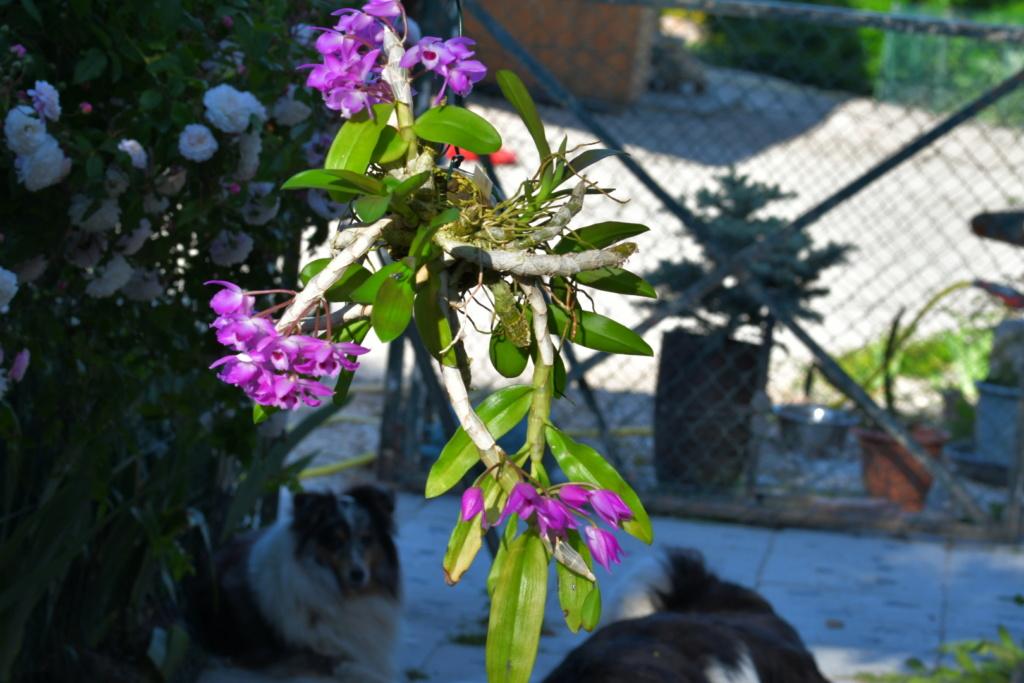 Dendrobium parishii Dsc_1322