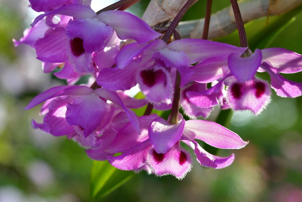 Dendrobium parishii Dsc_1323