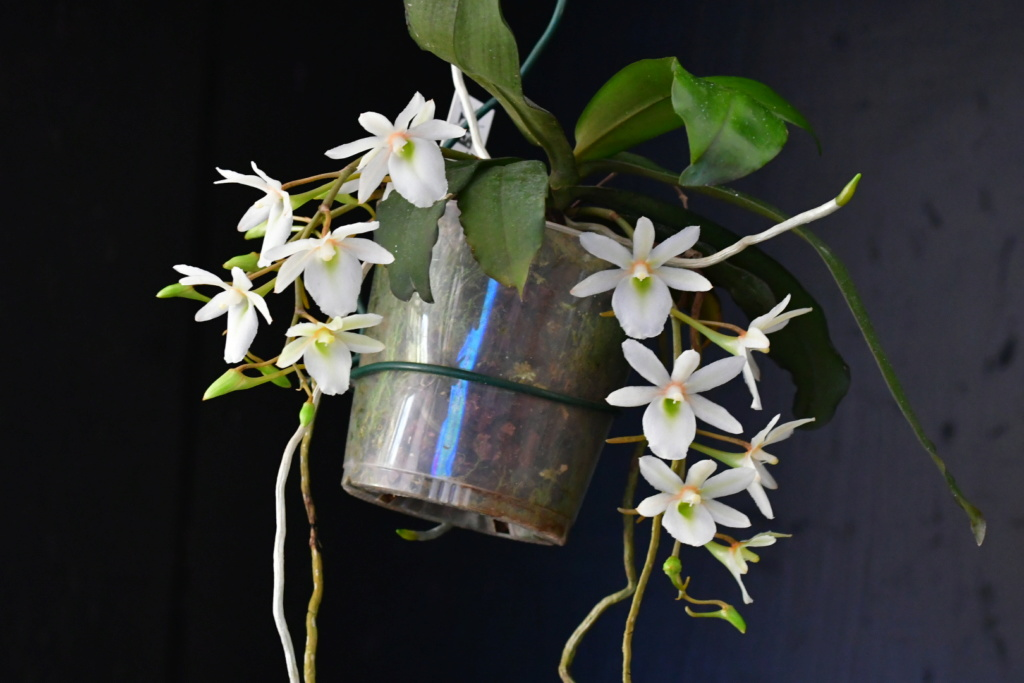 Aerangis spiculata x Eurychone rothschildiana Dsc_1728