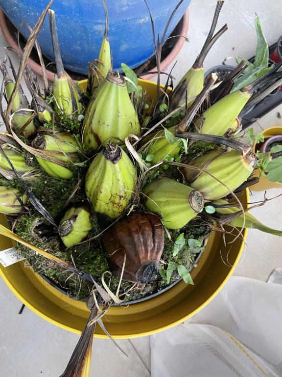 Neomoorea irrorata Img_0111