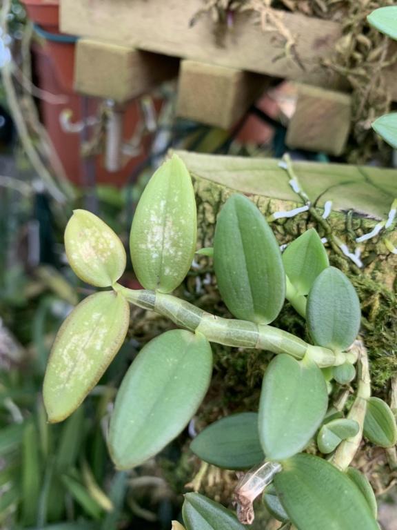 Dendrobium loddigesii  Img_2310
