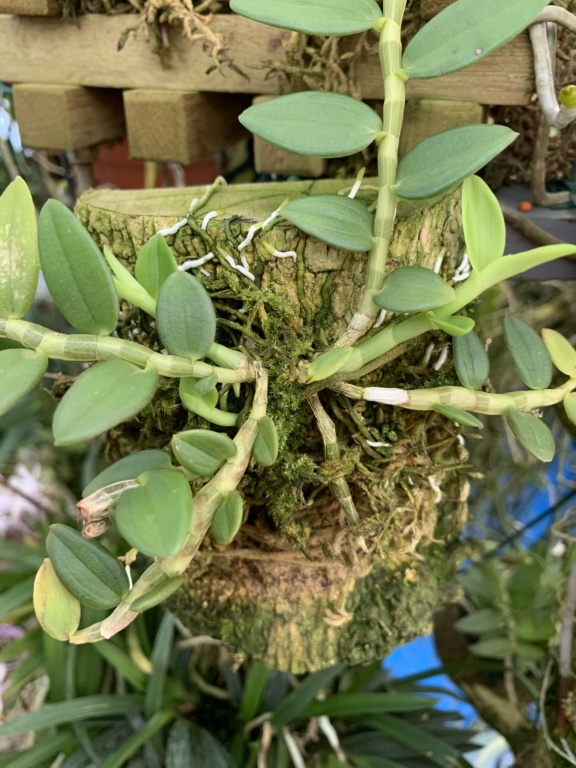 Dendrobium loddigesii  Img_2311