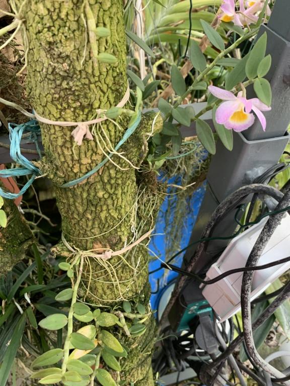 Dendrobium loddigesii  Img_2312